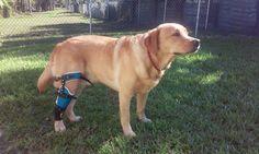 Posh Dog Knee Brace