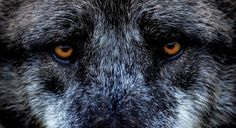The eyes of an Eastern Wolf are seen at the zoo in Hanover, Germany on April 6.