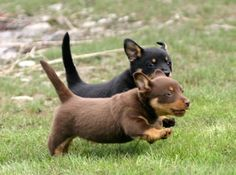 Lancashire Heeler puppies running