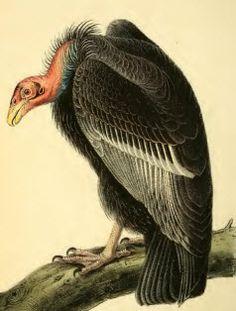 Californian Turkey Vulture