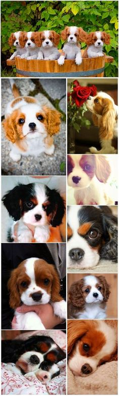 Cute small dog breeds 2 Cavalier King Charles Spaniel with puppies #cutepuppies