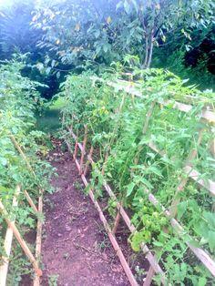 Tomato support cage trellis
