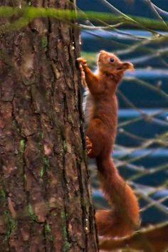 Squirrel - Eekhoorn , Veluwe