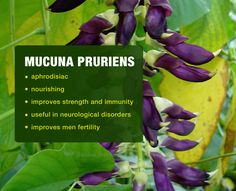 Mucuna Pruriens - Natural Alternative Medicine to Improve #Libido & Many Other Disabilities http://blog.onlineherbs.com/himalaya-kapikachhu-a-hope-where-there-is-one/?utm_source=pinterest&utm_medium=blog-kapikachu&utm_term=kapikachhu-a-hope&utm_campaign=dec-smo