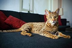 The Ashera cat was a type of hybrid cat marketed by the controversial company Lifestyle Pets. The hybrid cat breed was allegedly a cross between the African serval, the Asian leopard cat, and a dom… Exotic Cat Breeds, Rare Cat Breeds, Rare Cats, Exotic Cats, Cool Cats, Big Cats, Ashera Cat, Large Domestic Cat Breeds, Kitty Cats