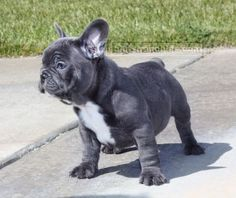 So cute I might die! blue french bulldog - ella