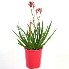 Flowering Bushes, Trees And Shrubs, Trees To Plant, Cut Flowers, Pink Flowers, Kangaroo Paw, Bright Pink, Garden Plants, Planter Pots
