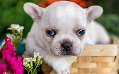 French Bulldog, white small puppy, cute animals, pets, dogs