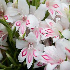 Gladiolus Nanus Nymph | McClure & Zimmerman Company