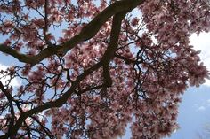laying on the ground--up into the magnolia