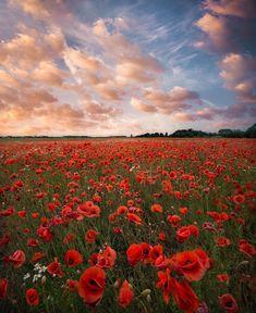 Poppy field in Sweden by Christian Lindsten