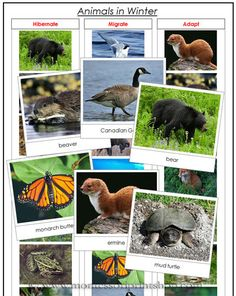 Animals in Winter - Learn which animals hibernate, migrate, and adapt. This set includes information cards, photographic sorting cards, and a control chart. A fun addition to your Montessori animal studies. Montessori Science, Montessori Practical Life, Kindergarten Science, Preschool Activities, Montessori Room, Preschool Projects, Arctic Animals, Forest Animals, Animais