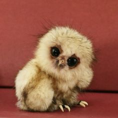 "Fluffy baby owl tilting it's head at the camera. Almost looks like it's thinking ""Say what?""."