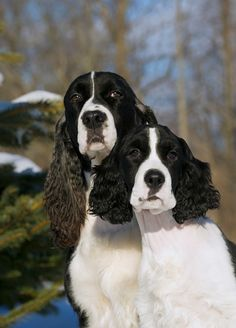 English Springer Spaniel (Canis familiaris) mother and older puppy