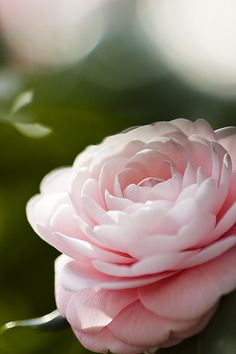 A delicate and elegant flower called the Camellia Japonica in a soft powder pink