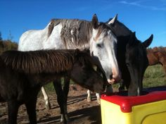 Beautiful colors and horses using the Ritchie Eco 2 automatic horse waterer
