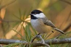 chickadees images - Google Search