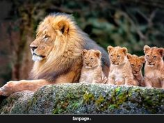 Lion and baby lions, nature, animals, baby animals, animal themes Nature Animals, Animals And Pets, Baby Animals, Funny Animals, Cute Animals, Animal Babies, Funny Cats, Beautiful Cats, Animals Beautiful