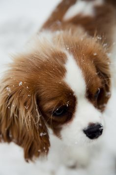 Snow Cavalier King Charles