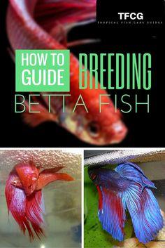 Breeding Betta Fish: 9 Proven Steps To Breed Betta Fish The Easy Way Aquascaping, Colorful Fish, Tropical Fish, Breeding Betta Fish, Betta Fish Care, Baby Betta Fish, Betta Tank, Beta Fish, Siamese Fighting Fish