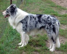 """""""Blue merle border collie"""" a color variation of the Border Collie; a working and herding dog breed developed in the English-Scottish border region for herding livestock, especially sheep. It was specifically bred for intelligence and obedience."""