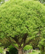Terijoensalava - Salix fragilis 'Bullata'