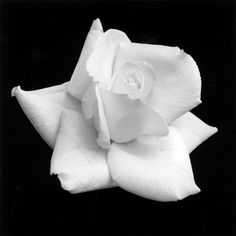 Rose | by Robert Mapplethorpe - LOVE THIS
