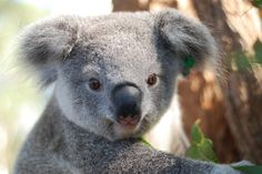 Orphaned Baby Koala Story Has A Happy Ending