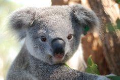 Orphaned Baby Koala Story Has A Happy Ending