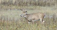 6 Ways to Make a Deer Stop in Their Tracks Catfish Fishing, Fishing Bait, Fishing Rigs, Bass Fishing, Hunting Tips, Bow Hunting, Homemade Catfish Bait, Hugh Glass, Venison Jerky