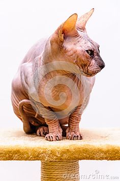 Sphynx cat breed on stand isolated white background. Cat Pet Shop, Sphinx Cat, Cat Breeds, Lion Sculpture, Stock Photos, Statue, Pets, Animals, Image