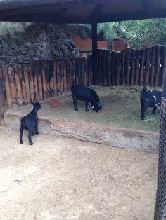 Rancho Texas goats