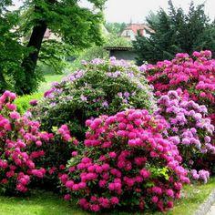 Выращивание рододендронов: посадка, уход, пересадка и размножение, фото рододендронов в саду и в ландшафтном дизайне