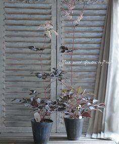 <i>Astilbe thunbergii</i><BR><BR>アスチルベ<BR>『チョコレートショーグン』 | 花苗 | | Junk sweet Garden tef*tef* ガーデニング雑貨・花苗