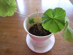 muskátli teleltetés Plants, Gardens, Planters, Plant, Tuin, Garden, Planting, Formal Gardens