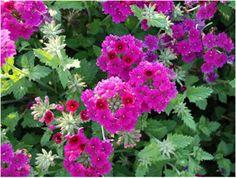 Verbena - superbena pink (burgandy?) - in front by roses