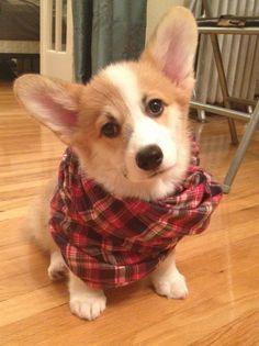 Hipster Corgi Puppy