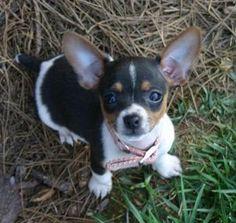 """Rat Terrier Puppy Photo - Picture of Rat Terrier Puppy"""