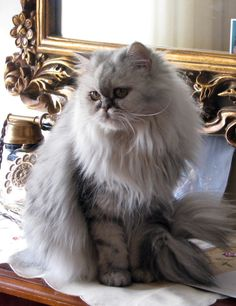 Gato Persa, igual que mi Paty. #yvolveraempezar #estoyenel3 #nuncaestarde @mercedesmedinat