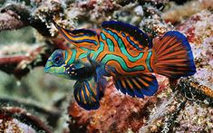 salt water fish - mandarin fish what-to-see-under-the-sea Saltwater Tank, Saltwater Aquarium, Freshwater Aquarium, Salt Water Fish, Salt And Water, Colorful Fish, Tropical Fish, Poisson Mandarin, Beautiful Creatures