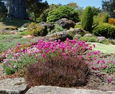 """""""Red-leaved Thrift"""" Tolerant of salt & wind, CLAYISH, SANDY, and rich soil. Provide some Summer water. Red,narrow, evergreen grass-like leaf tufts to 12"""" across, form little mounds over time. Summertime heat may green them up a bit. 1.5"""" magenta pom-poms throughout Spring on 6""""-8"""" stems leaving spherical seed heads. Cut these back to the foliage for a second flush of bloom in Summer."""