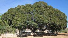 Ficus centenario en el Altet