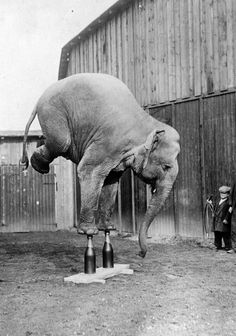 they perform so they are not beaten, whipped, shocked...please do not support circuses. Even though the surrounding look much differnt today, the abuse and inhumanity is the same.