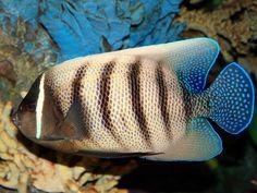 SIXBAR ANGELFISH ... Pomacanthus sexstriatus ....  46 cm  .... Asian Pacific  .... Great Barrier Reef of Australia…