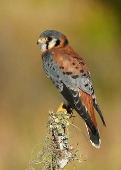 American Kestrel (Falco sparverius). Photo: Jack Rogers