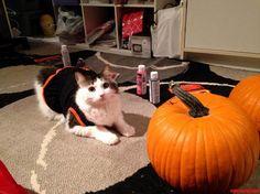 Mac In His Halloween Get-Up - http://cutecatshq.com/cats/mac-in-his-halloween-get-up/