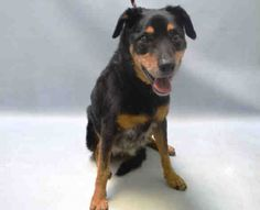 SUPER URGENT Brooklyn Center NIKKI – A1072849  **NEEDS FOLLOW UP VET CARE ASAP**  I am a spayed female, black and brown German Shepherd Dog mix.  The shelter staff think I am about 14 years old.  I weigh 42 pounds.  I was found in NY 11225.  I have been at the shelter since May 08, 2016.