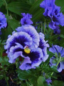 Viola-Blue-Fizz