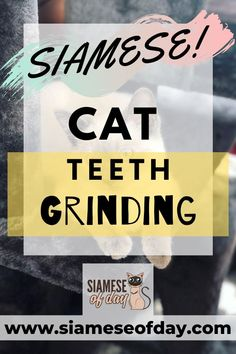 Bruxism or Teeth grinding is seen to be a common condition in cats. Even though it is a common condition, it may not be termed as something normal for the cats. When you hear or watch your kitty grinding its teeth then you should be aware that something is not right. The grinding of the teeth in certain cases would sound more like clicking or chattering. #kittenCare #SiameseCare #Cats #pets #Siameseofday Healthy Cat Food, First Time Cat Owner, Teeth Grinding, Cat Health Care, Kitten Care, Cat Behavior, Siamese Cats, Health Advice, Health Problems