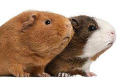A Gallery of Cute Guinea Pig Breeds